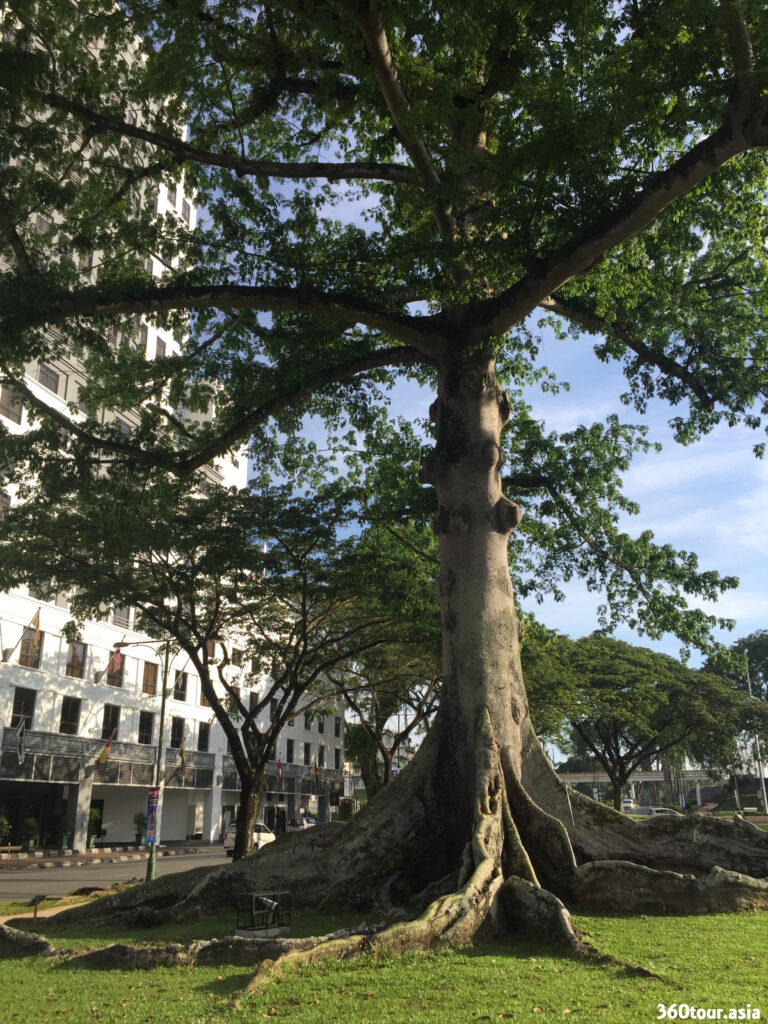 The Silk Cotton Tree in Merdeka Square Kuching