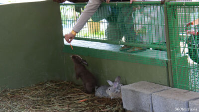 Feeding rabbits with carrots