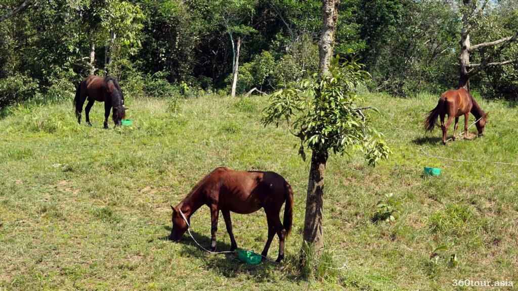 Horses grazing on the grassland