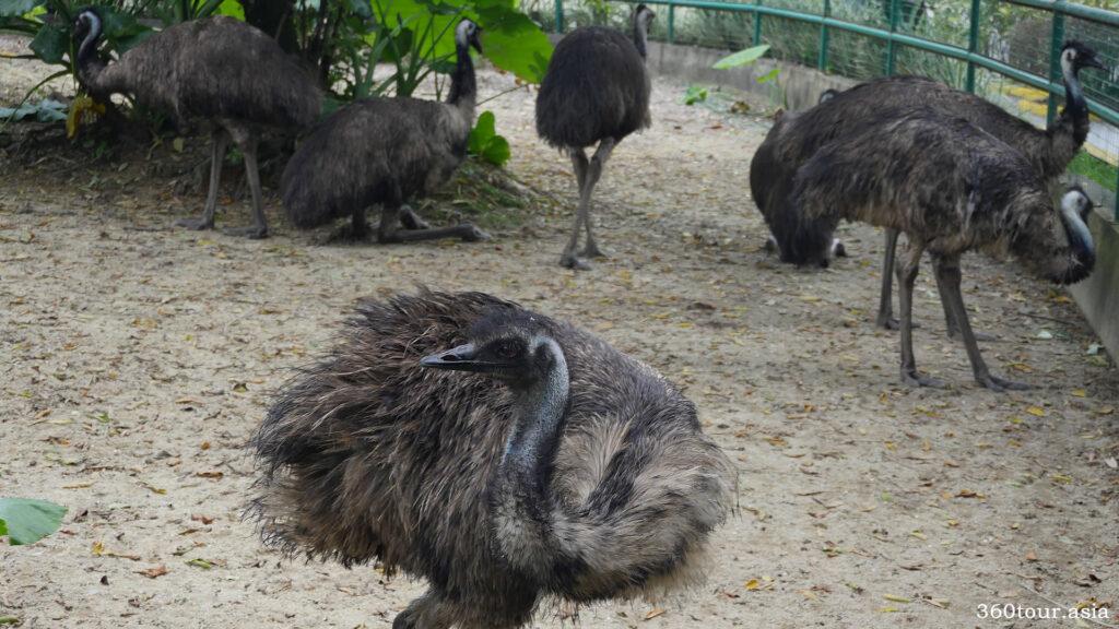 馬來西亞國家動物園的鴯