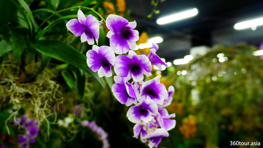 The purple orchid flower with shades of white and purple.