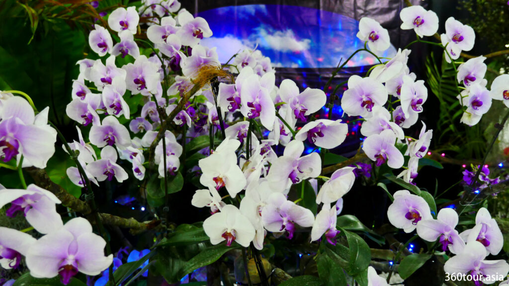 The purple white orchid flowers.