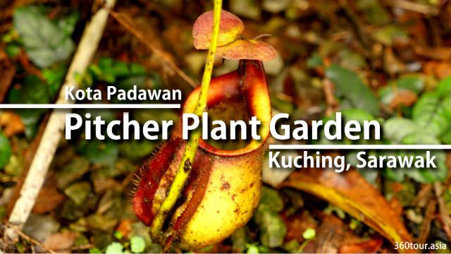Pitcher Plant Garden at Kota Padawan Kuching Sarawak