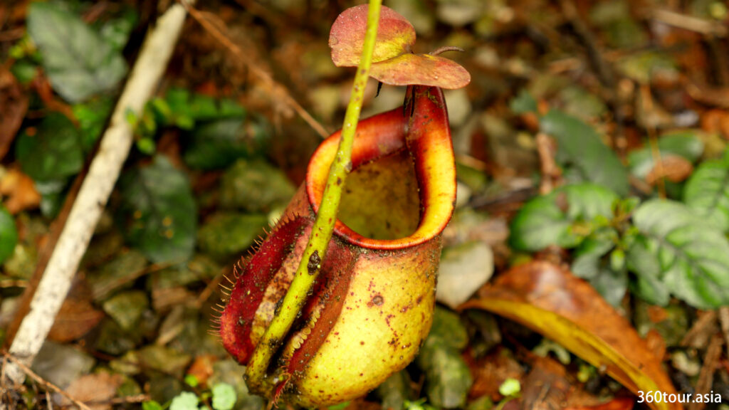 Most of the pitcher plant noted near the ground